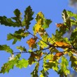 Autumn oak leaf — Stock Photo #4306442