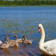 Swan and ugly ducklings — Stock Photo #4306454