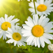 Daisies in a field, macro - Stock Photo
