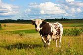 Bull on meadow — Stock Photo