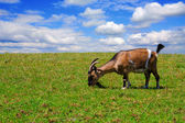 Goats on the meadow — Stock Photo