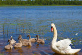Swan and ugly ducklings — Stock Photo