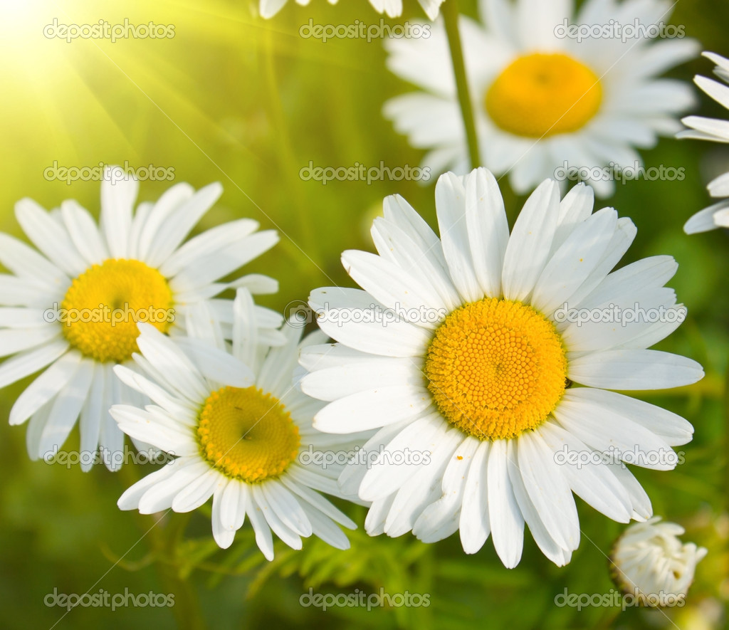 Daisies in a field, macro  Stock Photo #4306473