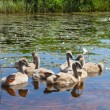Ugly ducklings — Stock Photo