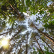 Stock Photo: Summer forest, view from below