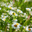 Daisies in a field, macro — Stock Photo #4448745