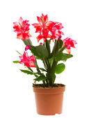 Schlumbergera, isolated — Stock Photo