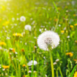Blowballs on meadow - Foto Stock