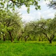 Stock Photo: Blossoming orchard