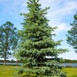 Blue spruce — Stock Photo #4917012