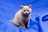 British shorthair blue kitten — Stock Photo