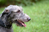 Portrait of irish wolfhound — Stock Photo