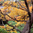 Stock Photo: Japanese autumn tress