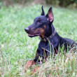 Lying doberman — Stockfoto