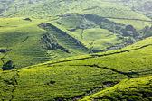 Tea plantations — Zdjęcie stockowe