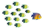 Leadership concept - big fish leading school of tropical fishes — Stock Photo