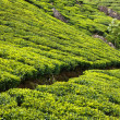 Tea plantations - Stock Photo