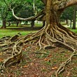 Royalty-Free Stock Photo: Tree roots