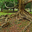 Tree roots — Stock Photo #4520594