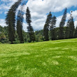 Crooked Cook Pines (Araucaria columnaris) in Peradeniya Botanical Gardens - Stock Photo