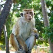 Long tailed macaque - Foto Stock