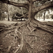 Tree roots — Stock Photo #4520959