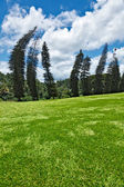 Crooked Cook Pines (Araucaria columnaris) in Peradeniya Botanical Gardens — Stock Photo