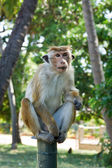 Long tailed macaque — 图库照片