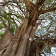 Tule tree in Mexico - Stock Photo