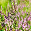 Royalty-Free Stock Photo: Blooming heather