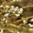 Blossoming of a willow — Stock Photo