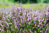 Blooming heather — Stock Photo