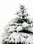 Sneeuw bedekte bont-boom — Stockfoto