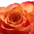 Stock Photo: Closeup rose