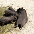 Stockfoto: Black pig fed piglets, (Suidae)