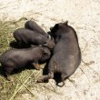 Stock Photo: Black pig fed piglets, (Suidae)