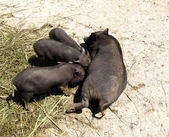 Black pig fed piglets, (Suidae) — Stock Photo
