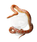 Corn snake in a glass on the white (Elaphe guttata) — Stock Photo