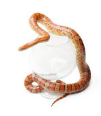 Corn snake in a glass on the white (Elaphe guttata) — Stok fotoğraf