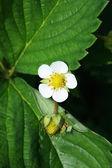 Fiori di fragola su uno sfondo di foglie verdi — Foto Stock