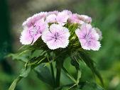 Goździk kwiat na tle zielonych liści — Zdjęcie stockowe