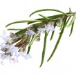 Branch of rosemary with flowers — Stock Photo