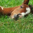 Sleeping foal — Stock Photo