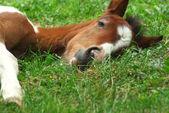 Sleeping foal — Stock Photo