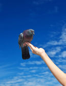 Girl feeds the dove — Stock Photo