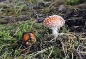 Poisonous mushroom — Stock Photo