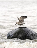 Seagull on a stone in sea — Stock Photo