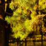 Pine tree - twig — Stock Photo