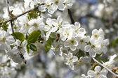 Kirschblüten und bienen — Stockfoto