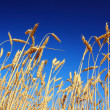 Stems of the wheat under sky — Stock Photo #3976987